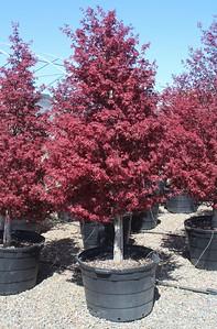Acer palmatum 'W C R ' 2 in #45