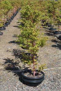 Acer palmatum 'Sango kaku' 4-5 ft #15 Mass