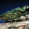 "The emerald ash borer is responsible for millions of dollars of damage to ash trees in Michigan. The adult borer is a metallic, coppery-green color and one-third to one-half inch long. (Photo/David Cappaert of Michigan State University and courtesy of  <a href=""http://www.forestryimages.com"">http://www.forestryimages.com</a>)"
