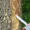 Courtesy of Constance Hausman<br /> Emerald ash borer larvae. Larvae create S-shaped tunnels as they feed, interrupting the flow of nutrients and water. The disconnection of nutrients produces stress on the tree, causing thinning and yellowing leaves, dieback in the tree's canopy and bark loss.