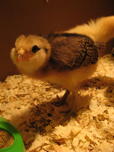 08_chickens_eleanor