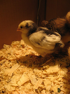 09_chickens_marian