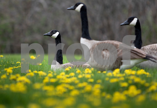 dnews_0426_Geese_Outside_01