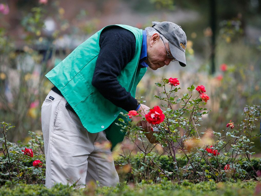 . Volunteer Min Chang, of Belmont , prunes roses in the San Mateo rose garden in Central Park on Saturday. (John Green/Bay Area News Group)