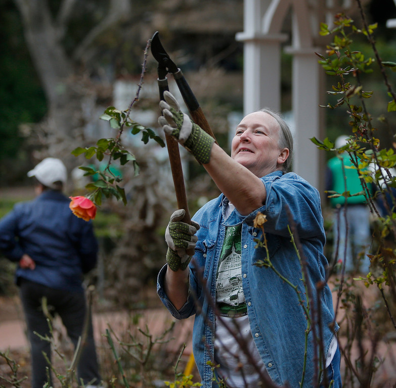 . Volunteer Normandie Ross, of San Mateo, prunes bushes in the San Mateo rose garden in Central Park. (John Green/Bay Area News Group)