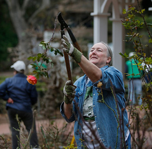 Volunteers prune San Mateo rose garden