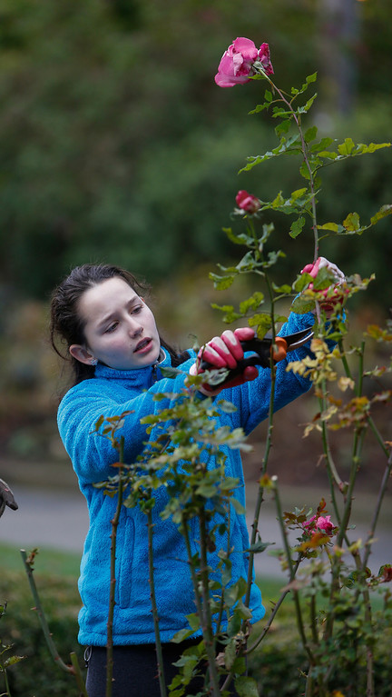 . Volunteer Isabel McGinley, 10, prunes roses in the San Mateo rose garden in Central Park on Saturday, Jan. 11, 2014. About 25 volunteers came out to help prepare the garden and rose bushes for the coming growing season. (John Green/Bay Area News Group)