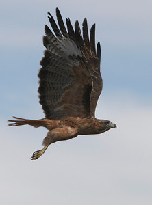 A red-tailed hawk flies near the race course during the Trailblazer Race along the Stevens Creek Trail in Mountain View, Calif., on Sunday, Sept. 29, 2013. (Jim Gensheimer/Staff)