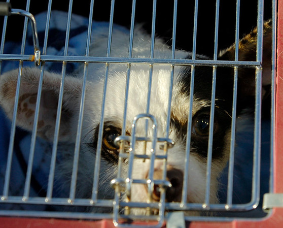 Dimunitive rescue dogs to find new homes in Idaho