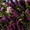 052021 JEH springflowers 02