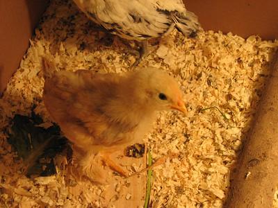 01_chickens_magda