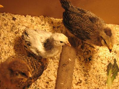 04_chickens_frida_marian_eleanor