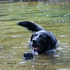 Jetta, a working search and recovery K-9 who specializes in human remains jumps into a stream to alert her handler to the location of human decomposition during a training session. (Kristi Garabrandt/The News-Herald)