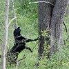 Jetta, a working search and recovery K-9 who specializes in human remains picks up the scent  of human decomposition and heads off to locate it during a training session.<br /> (Kristi Garabrandt/The News-Herald)