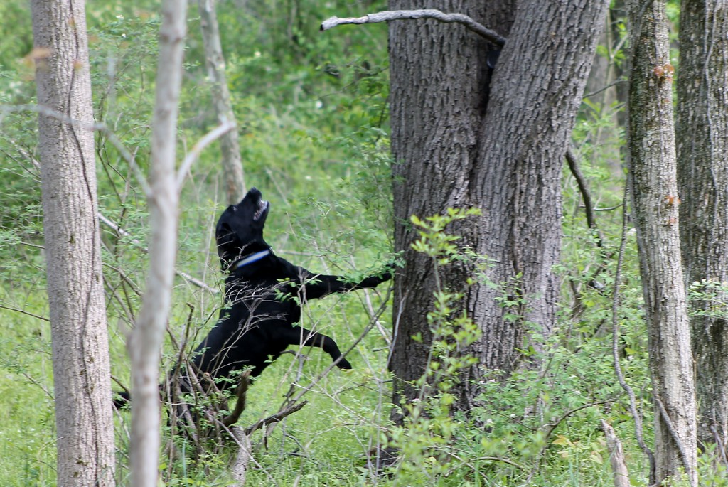 . Jetta, a working search and recovery K-9 who specializes in human remains picks up the scent  of human decomposition and heads off to locate it during a training session.� (Kristi Garabrandt/The News-Herald)