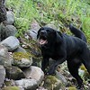 Jetta, a working search and recovery K-9 who specializes in human remains alerts her handler to the location of human decomposition buried beneath the rocks during a training session. (Kristi Garabrandt/The News-Herald)