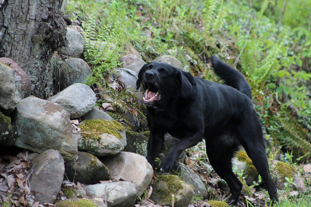 . Jetta, a working search and recovery K-9 who specializes in human remains alerts her handler to the location of human decomposition buried beneath the rocks during a training session.� (Kristi Garabrandt/The News-Herald)