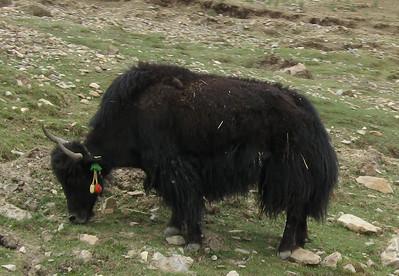 040_tibet_ganden_monastery_yak