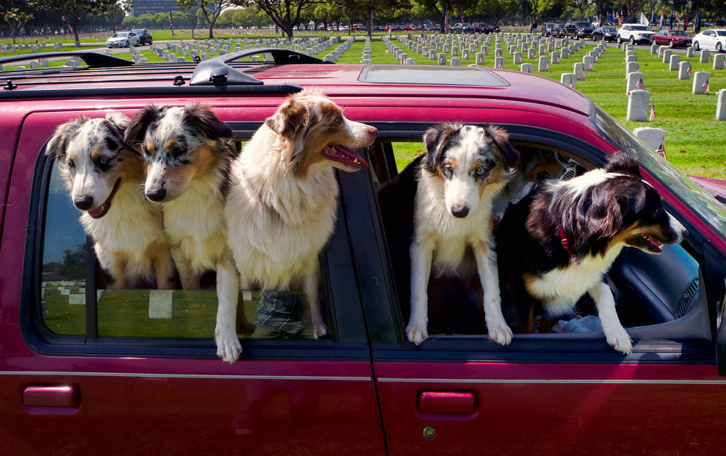 . A group of Australian Shepherds hanging out of the window of a car while listening to speakers during the Memorial Day observance at the Los Angeles National Cemetery in Los Angeles on Monday, May 28, 2018. Californians are paying their respects on Memorial Day to those who have died serving their country. (AP Photo/Richard Vogel)