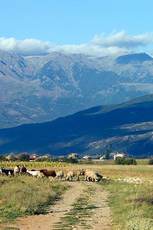Sheep grazing below The Rila Mountains, Bulgaria
