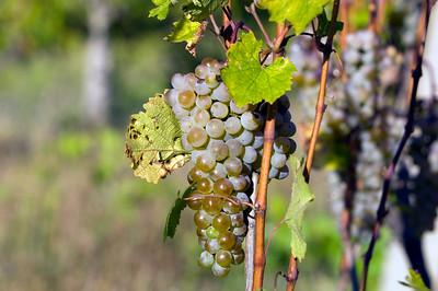 Vineyards near Kjustendil, Bulgaria
