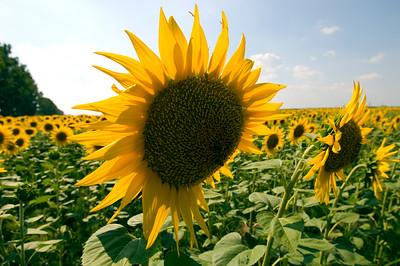 Sunflowers near Snagov Lake, Romania