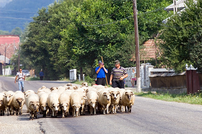 Sheep being herded through a village, Maramures, Romania