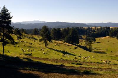 Sheep grazing , Dospat, The Rhodope Mountains, Bulgaria