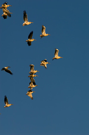 Colony of Pelicans flying over, The Danube Delta, Romania