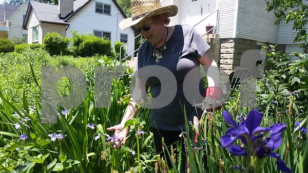 Christopher Heimerman/cheimerman@shawmedia.com<br /> Anna Marie Coveny shows the flag irises in bloom at the DeKalb Area Women's Center, where two rain gardens help keep water away from the building, and take pressure of storm sewers, she said.