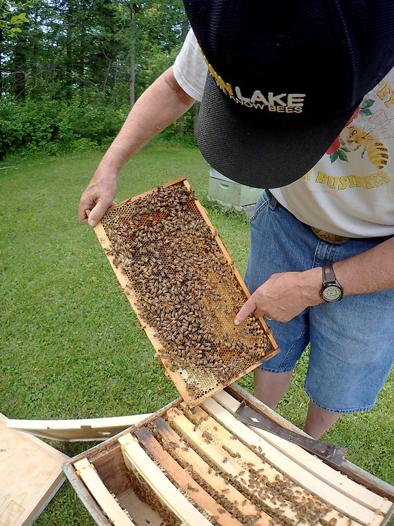 . Jonathan Tressler - The News-Herald. Veteran beekeeper Dave Paterson points to a spot on one of his hives� frames where some of the Apis mellifera, or European honeybees, that call his back yard home have begun to seal off cells of their honeycomb with wax to protect the larvae inside.