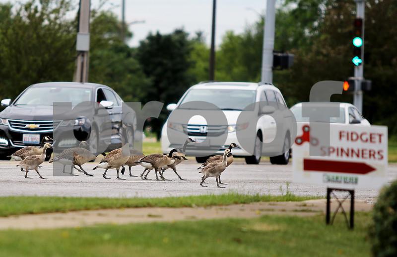 dnews_0616_Geese_Traffic
