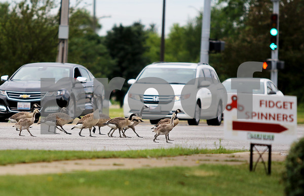 dnews_0616_Geese_Traffic