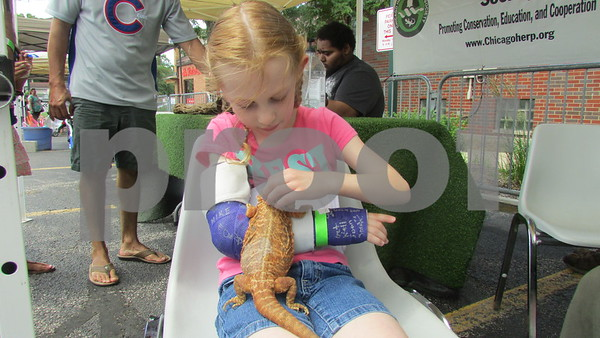 "Aimee Barrows – for Shaw Media<br /> Eleanor Hooper, 7, of Sycamore holds a lizard during the annual ""Rockin' for the Reptiles"" fundraiser in downtown Sycamore."