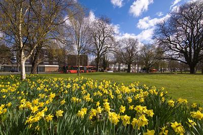 Daffodils in full bloom on Ealing Common, Ealing, W5, London, United Kingdom