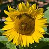 7 25 18 Sunflowers on Munroe