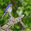 Submitted photo - Jeanne B. Williams <br> This bluebird represents one of 170 species that have been seen at the Margaret Peak Nature Preserve on June 28, 2017. The Eaton Township preserve is a hidden gem for birders, hikers and anyone who wants to experience the outdoors.