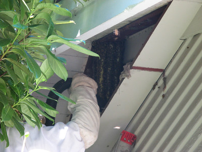 08_bees_live_removal
