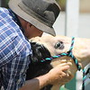 Michael Decola of Whistlestop farms rubs shampoo into Daisy, a 6- month- old 3/4 Simmental calf to get her ready for show at the Lake County Fair on July 25.<br /> Kristi Garabrandt - The News-Herald