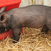 PIglets along with a wide variety of other animals were on exhibit during the 2018 Lake County Fair.<br /> Kristi Garabrandt - The News-Herald