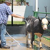 Michael Decola of Whistlestop farms gives Daisy, a 6- month- old 3/4 Simmental calf to get her ready for show at the Lake County Fair on July 25.<br /> Kristi Garabrandt - The News-Herald