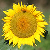 dc.0730.Shabbona sunflowers04