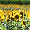 dc.0730.Shabbona sunflowers01