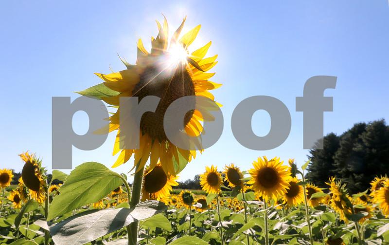 dc.0730.Shabbona sunflowers10