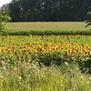 dc.0730.Shabbona sunflowers03