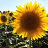 dc.0730.Shabbona sunflowers11