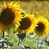 dc.0730.Shabbona sunflowers02