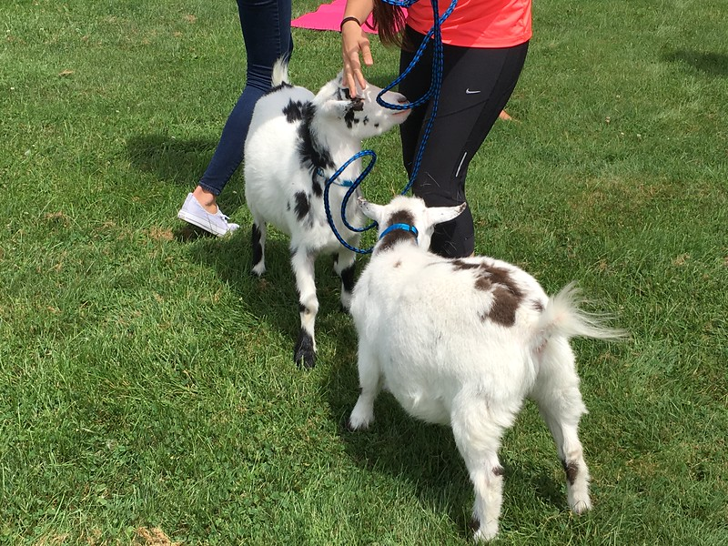 Goat yoga is a growing trend nationally. The Lake Humane Society and Willoughby-based Harmony Studios brought the trend to Lake County July 29.  (Andrew Cass/The News-Herald)