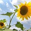 dc.0730.Shabbona sunflowers