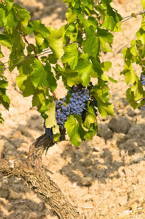 Europe, France, Provence, vineyard near Beaumes-de-Venise
